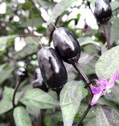 Black Olive Ornamental