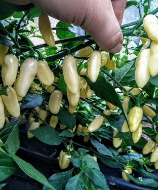 Sadenica Habanero White Long